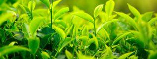 Concentratia Extractului din Ceai Verde - 850 Mg